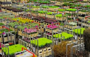 Lees meer over het artikel Grijpt Flora Holland de reddingsboei? – Bloemenkrant